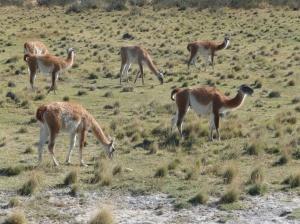 The elusive guanacos