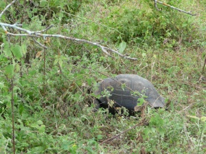 Santa Cruz Island (Whale Bay) - giant tortoise only about 25 years old