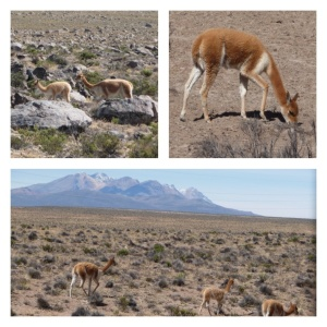 Vicuñas in the National Reserve of Salinas and Aguada Blanca
