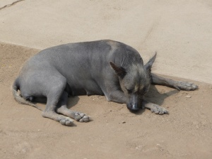 The hairless Peruvian dog hanging out at the Huaca