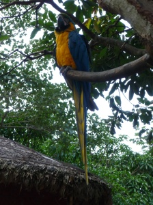 Hyacinth and yellow macaw