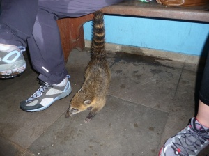 Scavenging Coati